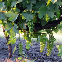 culture de la vigne de la vigne au vin. Black Bedroom Furniture Sets. Home Design Ideas